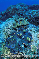 Giant Clams Great Barrier Reef