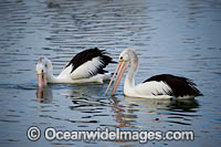 Australian Pelicans fishing Photo - Gary Bell