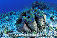 Giant Clam Tridacna gigas Great Barrier Reef