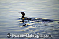 Little Black Cormorant Photo - Gary Bell