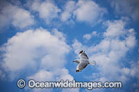 Silver Gull in flight Photo - Gary Bell