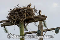 Osprey in nest on power pole Photo - Gary Bell
