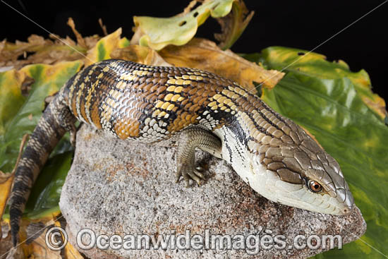 Eastern Blue-tongue Lizard (Tiliqua scincoides scincoids). Found in a wide variety of habitats from south-eastern SA, Vic, eastern NSW, Qld and NT. Photo was taken in Coffs Harbour, NSW, Australia. Photo - Gary Bell