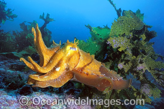 Giant Cuttlefish (Sepia apama) - amongst strap kelp. Jervis Bay, New South Wales, Australia