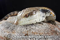 Eastern Blue-tongue Lizard Photo - Gary Bell