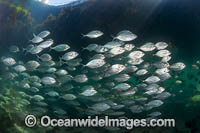 Skipjack Trevally Photo - Gary Bell