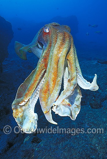 Giant Cuttlefish Coffs Harbour photo