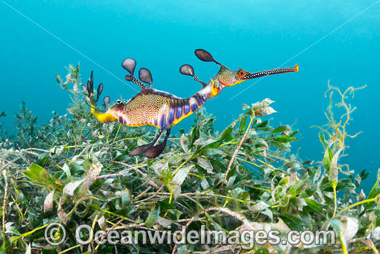 Weedy Seadragon (Phyllopteryx taeniolatus). Found in temperate coastal waters of Australia, from Geraldton, WA, to Port Stephens, NSW, and around Tas. Photo taken in Western Port Bay, Victoria, Australia. Photo - Gary Bell