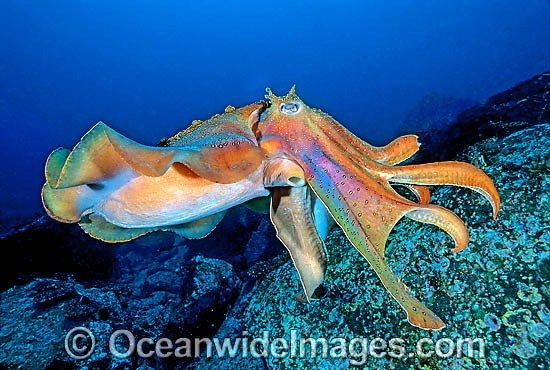 Giant Cuttlefish (Sepia apama). Solitary Islands, New South Wales, Australia