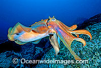 Giant Cuttlefish Sepia apama photo