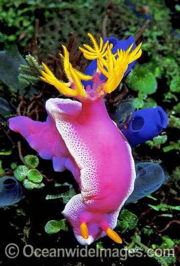 nudibranch sea slug photos pictures images