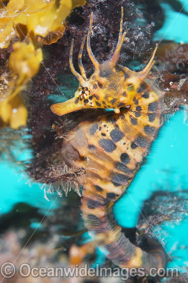 Southern Pot-belly Seahorse (Hippocampus bleekeri). Also known as Big-belly Seahorse. Found on soft-bottom habitats in southern Australia. Photo taken in Port Phillip Bay, Mornington Peninsula, Vic, Australia. Photo - Gary Bell