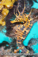 Southern Pot-belly Seahorse Photo - Gary Bell