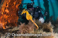 Diver photographing Pot-belly Seahorse Photo - Gary Bell