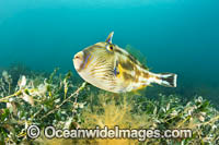 Six-spine Leatherjacket photo