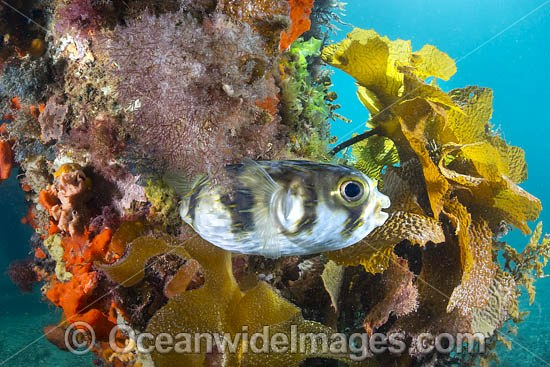 Globefish (Diodon nichthemerus). Also known as Porcupinefish or Pufferfish. Often sighted on sheltered coastal reefs. Photo taken in Port Phillip Bay, Mornington Peninsula, Victoria, Australia. Photo - Gary Bell
