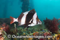 Magpie Perch Photo - Gary Bell