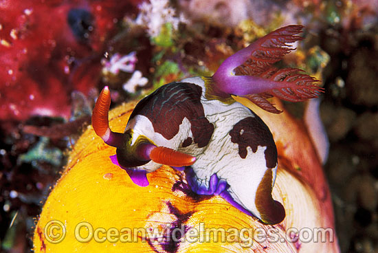 Nudibranch (Nembrotha rutilans). Also known as Sea Slug. Great Barrier Reef, Queensland, Australia Photo - Gary Bell