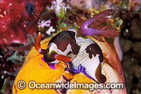 Nudibranch Nembrotha rutilans Photo - Gary Bell