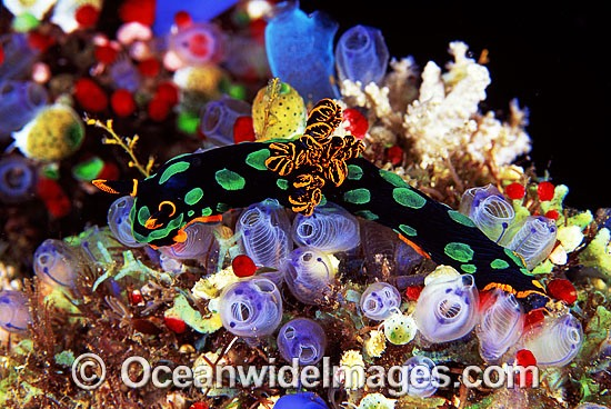 Nudibranch (Nembrotha kubaryana). Also known as Sea Slug. Bali, Indonesia