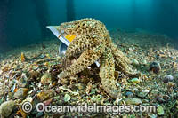 Eleven-arm Seastar Rye Pier Photo - Gary Bell