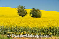 Field of Canola Photo - Gary Bell