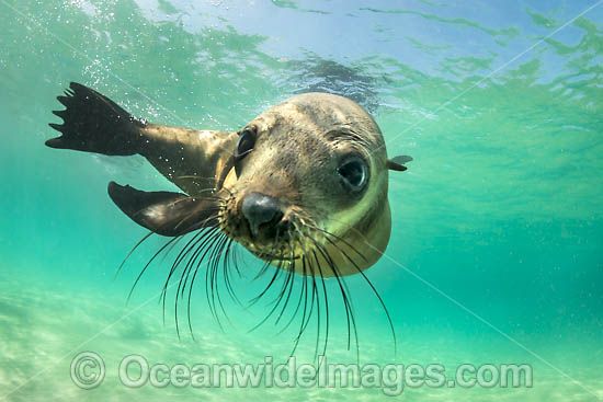 Australian Fur Seal (Arctocephalus pusillus). Photo taken at Chinaman's Hat, Port Phillip Bay, Mornington Peninsula, Victoria, Australia. Photo - Gary Bell