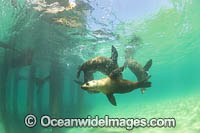 Australian Fur Seals photo