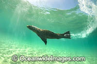 Australian Fur Seals Chinaman Hat photo