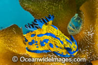 Tambja Nudibranch Photo - Gary Bell