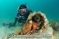 Diver and Maori Octopus photo