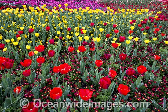 Bed of multi-coloured Tulips and other flowers. Floriade Festival, Commonwealth Park, Canberra, Australian Capital City, Australia. Photo - Gary Bell