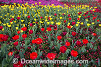 Tulips Floriade Festival Photo - Gary Bell