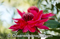 New South Wales Waratah Photo - Gary Bell