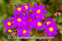 Wild Daisy Flowers Photo - Gary Bell