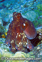 Reef Octopus Octopus cyanea Photo - Gary Bell