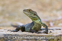 Water Dragon Australia photo