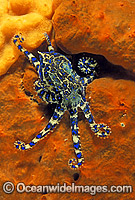 Blue-ringed Octopus on sponge image