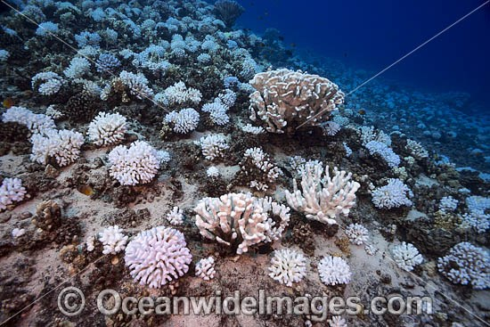 Coral Bleaching in October 2015, showing colonies of bleached Cauliflower Coral (Pocillopora meandrina) on a Hawaiian reef. USA. Photo - David Fleetham