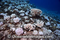 Bleached Coral Hawaii photo