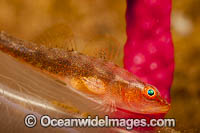 Parasitic Copepod on Goby Photo - David Fleetham