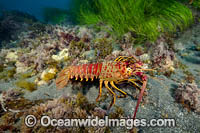 California Spiny Lobster Photo - David Fleetham