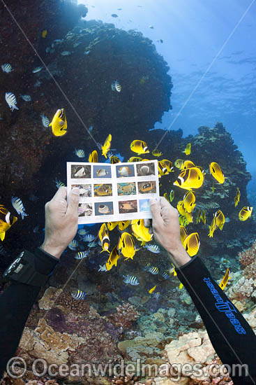 Scuba Diver viewing an underwater fish guide near schooling Raccoon Butterflyfish (Chaetodon lunula). Off the island of Lanai, Hawaii, USA. Photo - David Fleetham