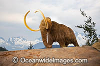 Woolly Mammoth Photo - David Fleetham