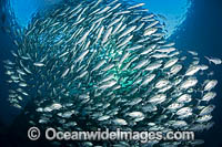 Schooling Big-eye Trevally Photo - David Fleetham