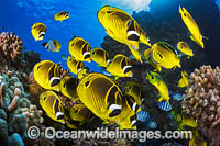 Raccoon Butterflyfish Hawaii Photo - David Fleetham