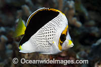 Hawaiian Butterflyfish Chaetodon tinkeri Photo - David Fleetham