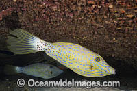 Scribbled Filefish Photo - David Fleetham