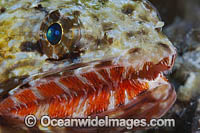 Orangemouth Lizardfish Photo - David Fleetham