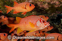 Longjaw Squirrelfish Bigscale Squirrelfish photo